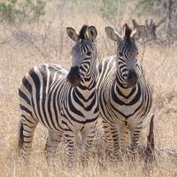 Zebra's in ZA