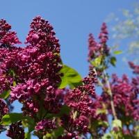 Seringeboom in volle bloei